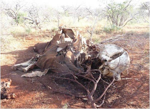 La fin des éléphants d'Afrique [...]